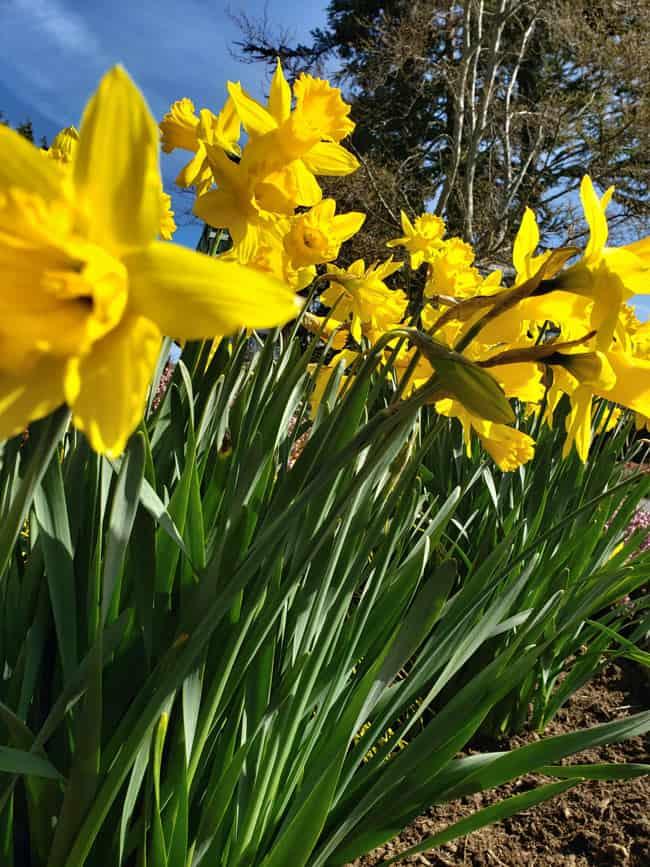 Daffodils in Victoria, BC