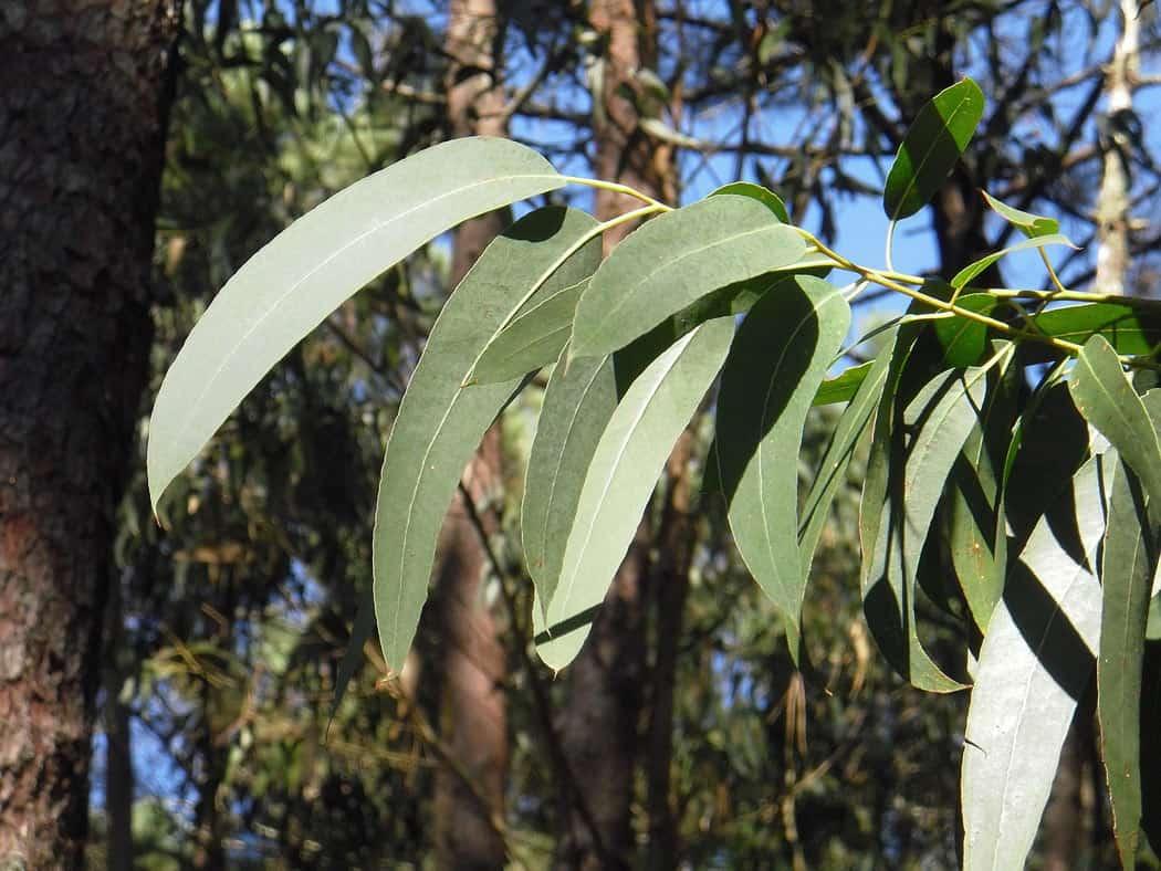 Eucalyptus forest in Galicia, Spain