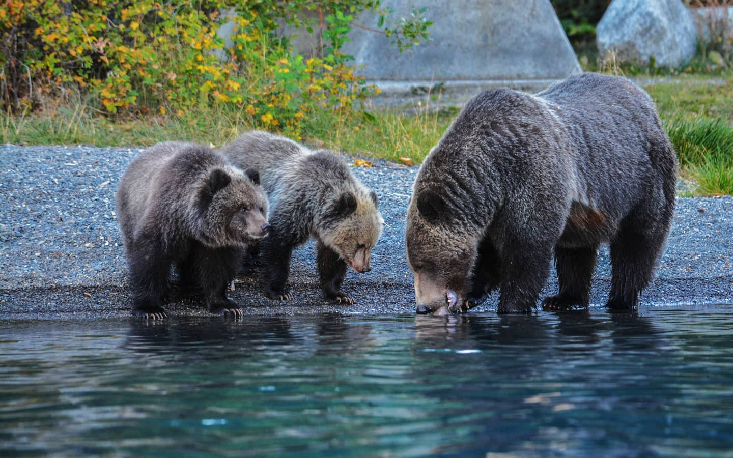 Grizzlies at Chilko Experience