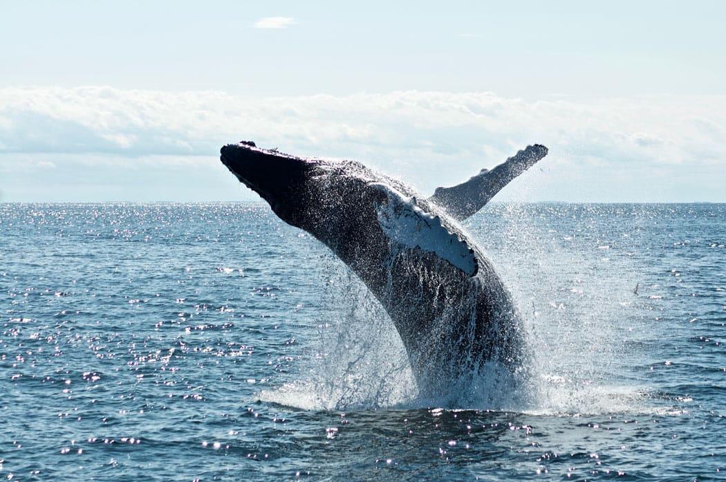 Humpback whale in Kauai