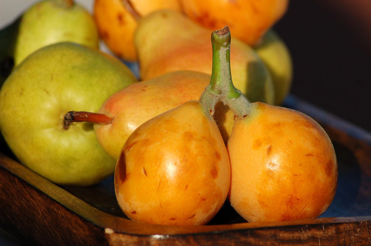 Loquats are a fruit in Hawaii