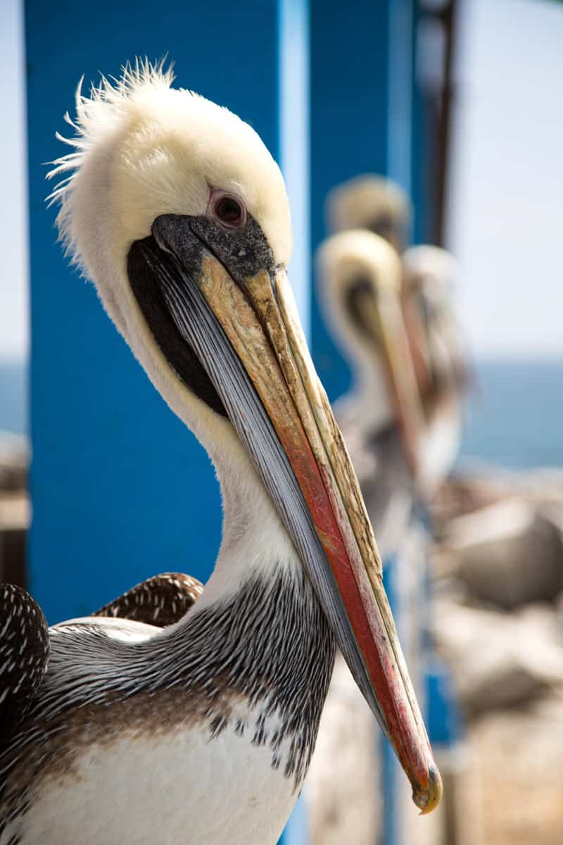 Pelicans at the Cabo San Lucas Marina