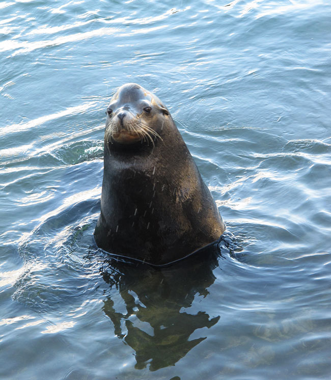 Poncho the sea lion in Cabo San Lucas