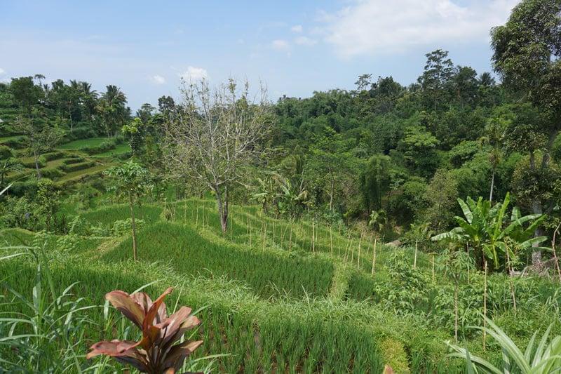 Lombok rice terraces