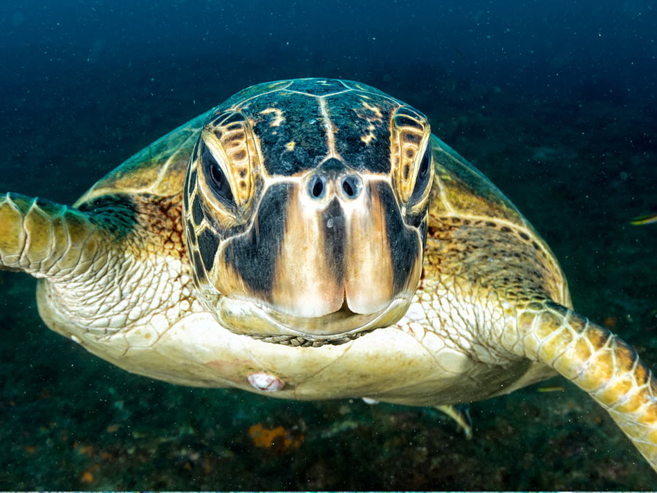 A sea turtle at Cabo Pulmo National Park