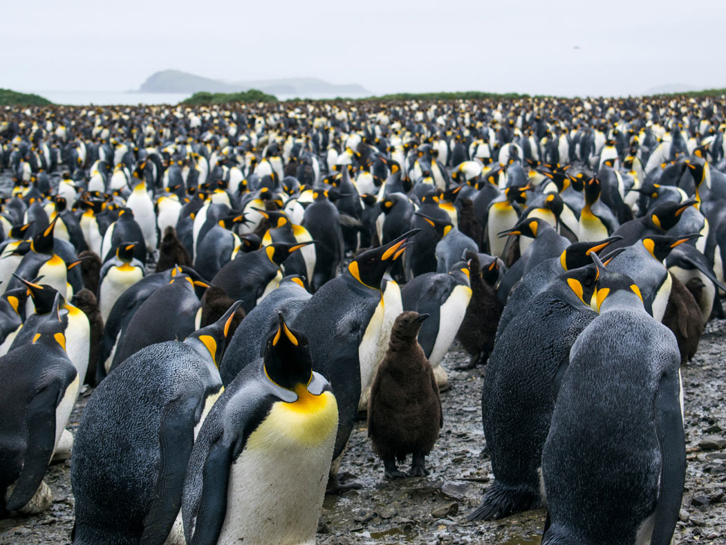 A colony of King penguins in South Georgia Island