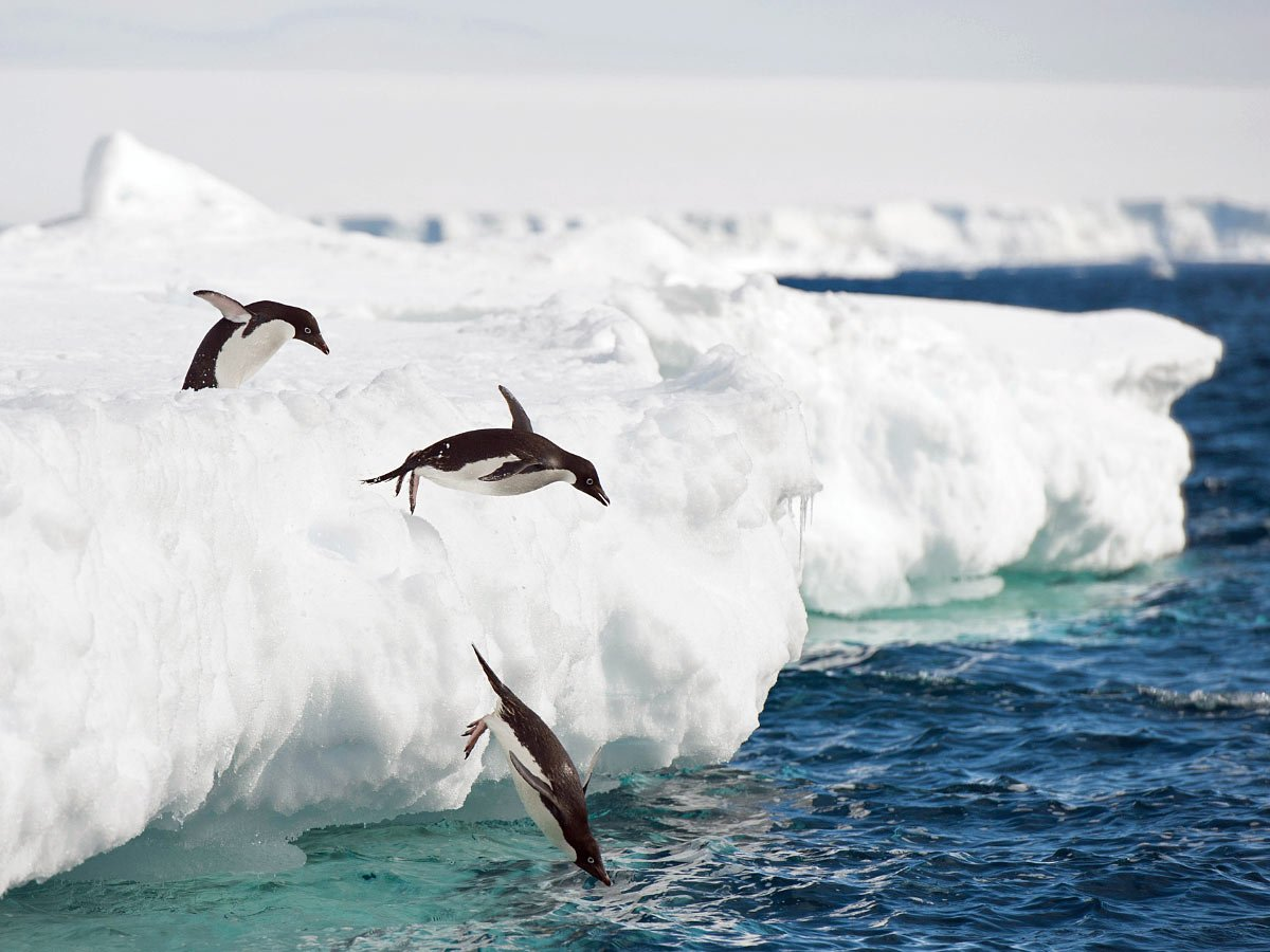 Adelie penguins in Antarctica diving into the water for a swim