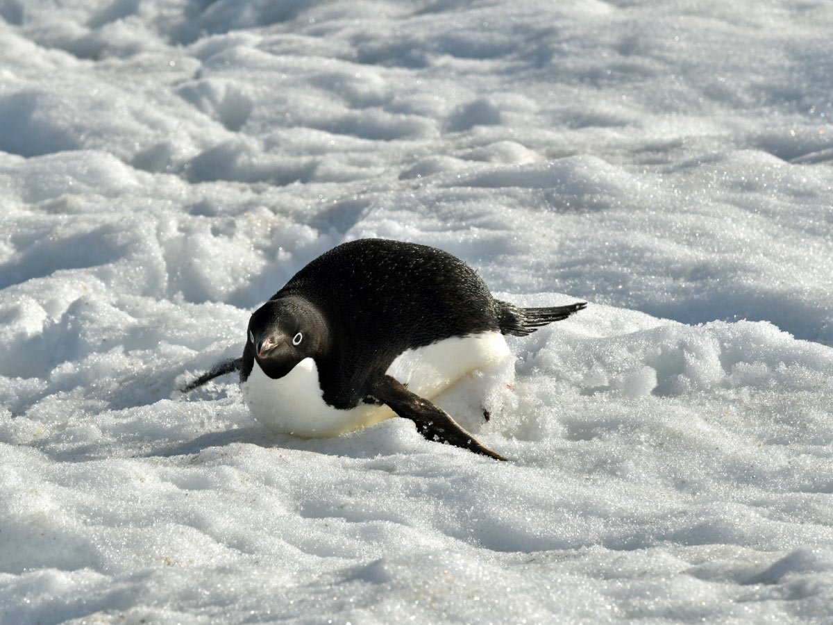 An Adelie penguin tobogganing down a hill