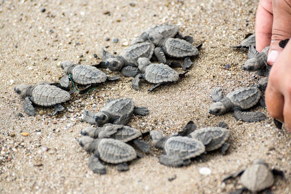 Helping baby sea turtles return to the sea