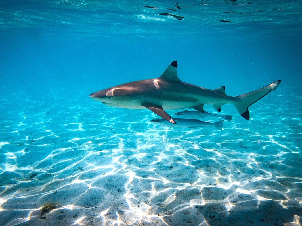 Blacktip reef shark in Bora Bora