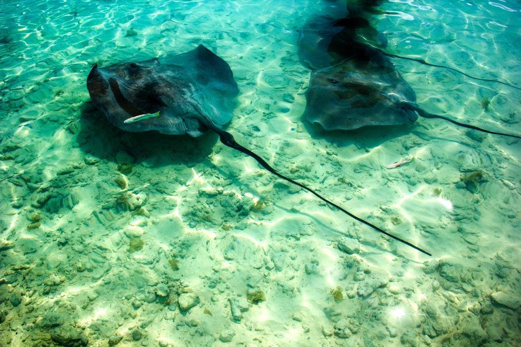 Stingrays in Bora Bora