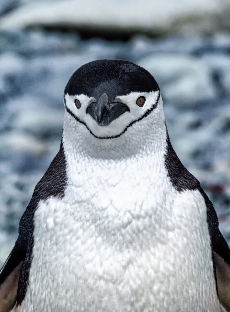 A smart-looking Chinstrap penguin poses for the camera