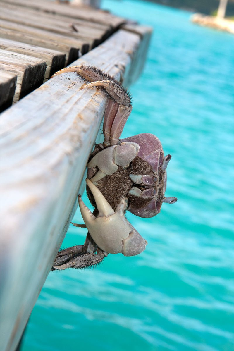 Crab clinging to a dock in Bora Bora