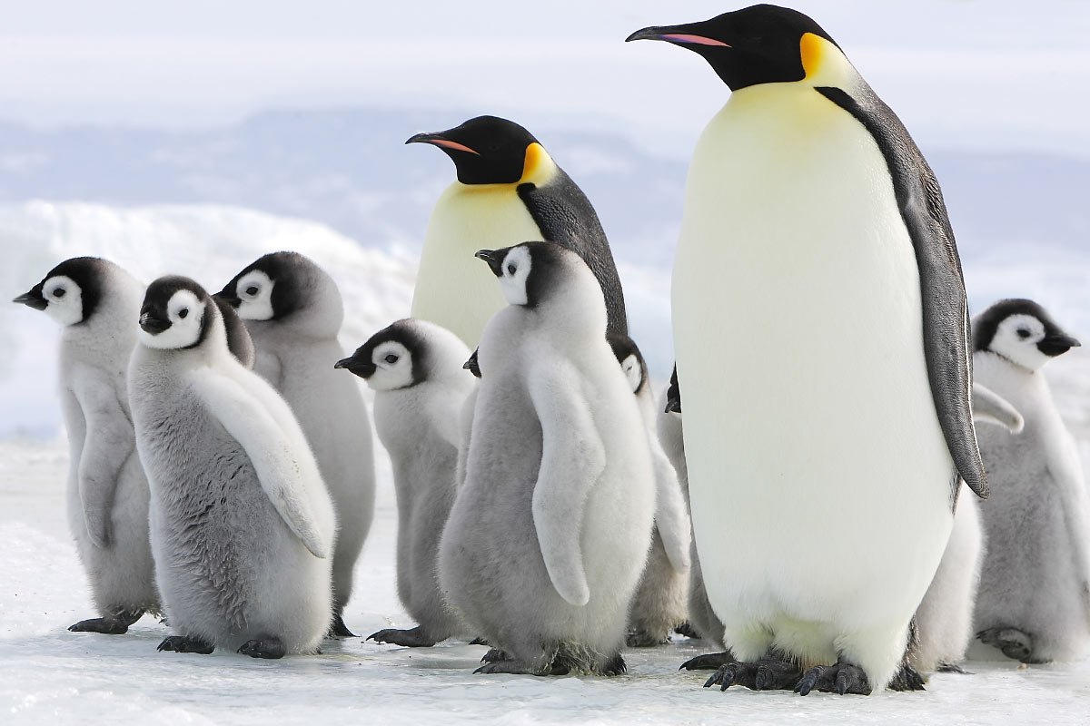 A waddle of Emperor penguins and chicks