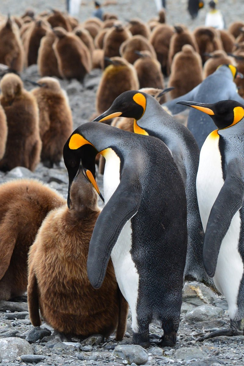 A King penguin feeds its chick