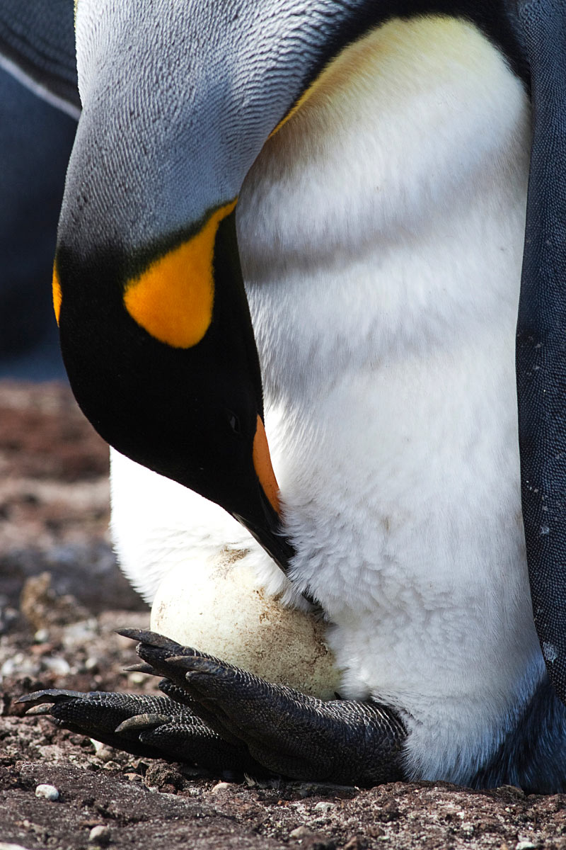 A King penguin carries an egg on top of its feet
