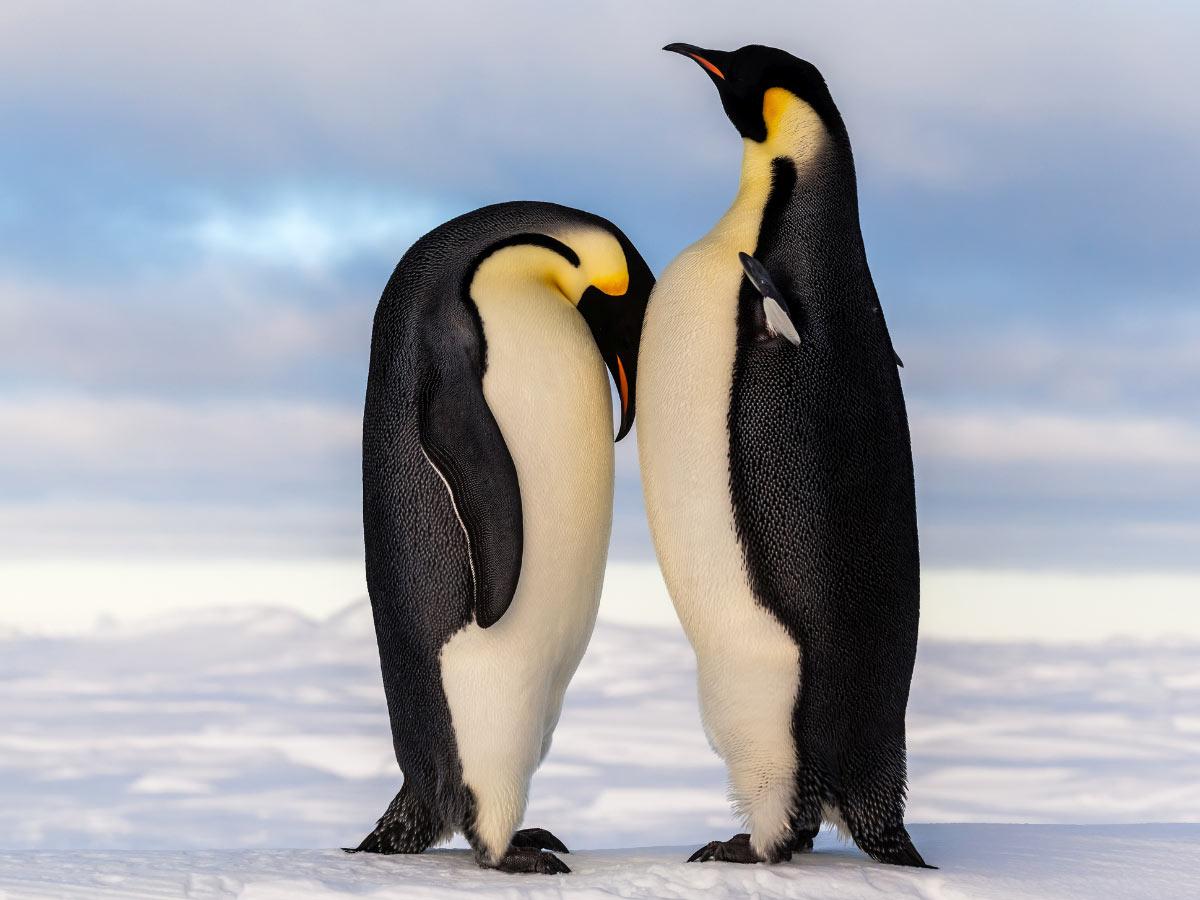 A regal pair of Emperor penguins