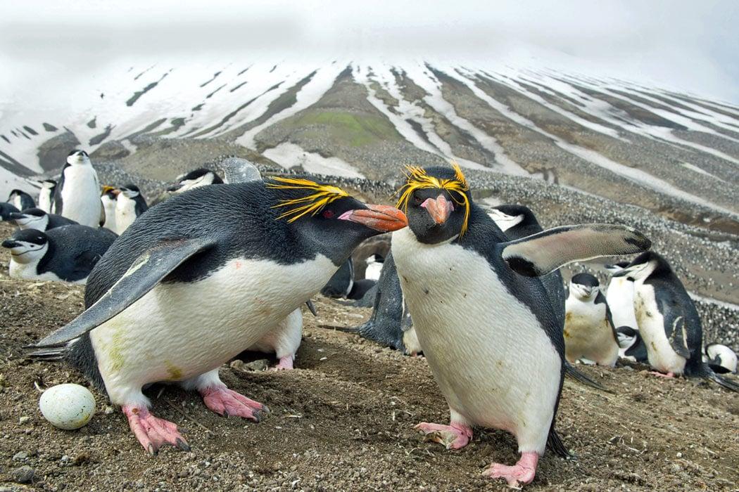 Macaroni penguin laying an egg