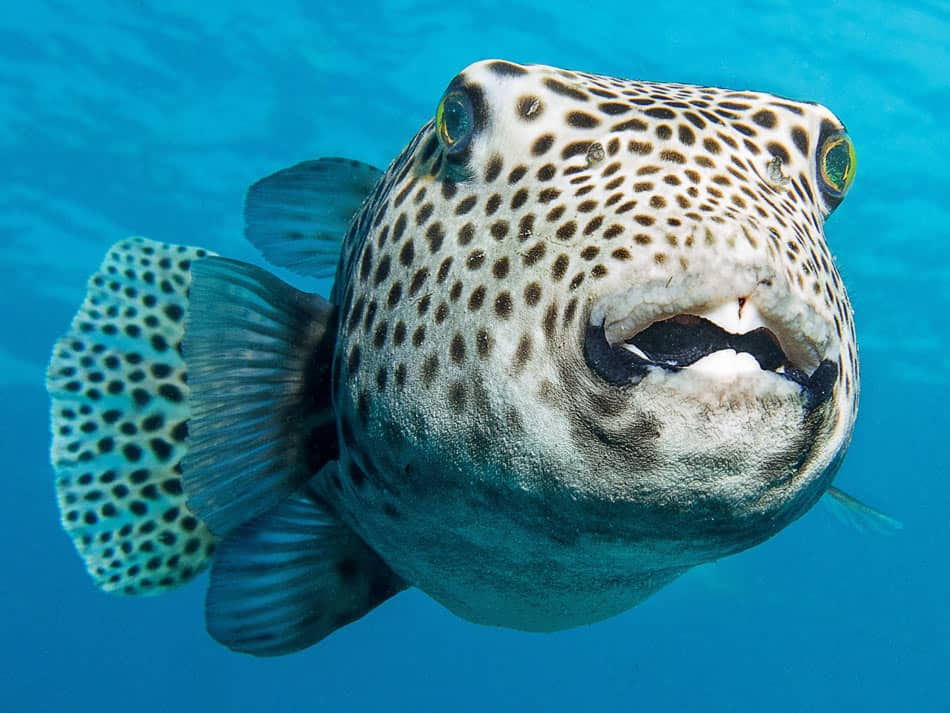 Puffer fish are seen when scuba diving Land's End in Cabo San Lucas
