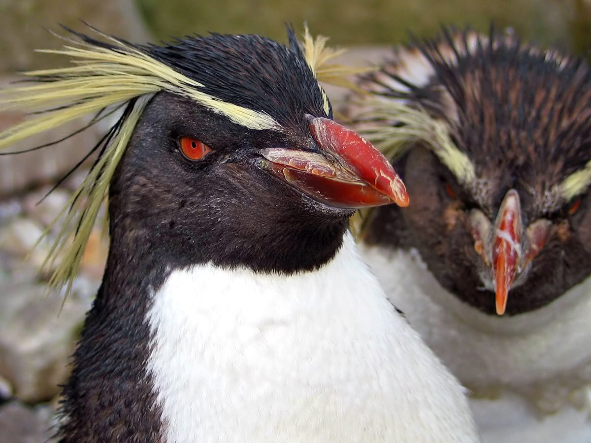 Rockhoppers are one of the strangest-looking types of Antarctica penguins