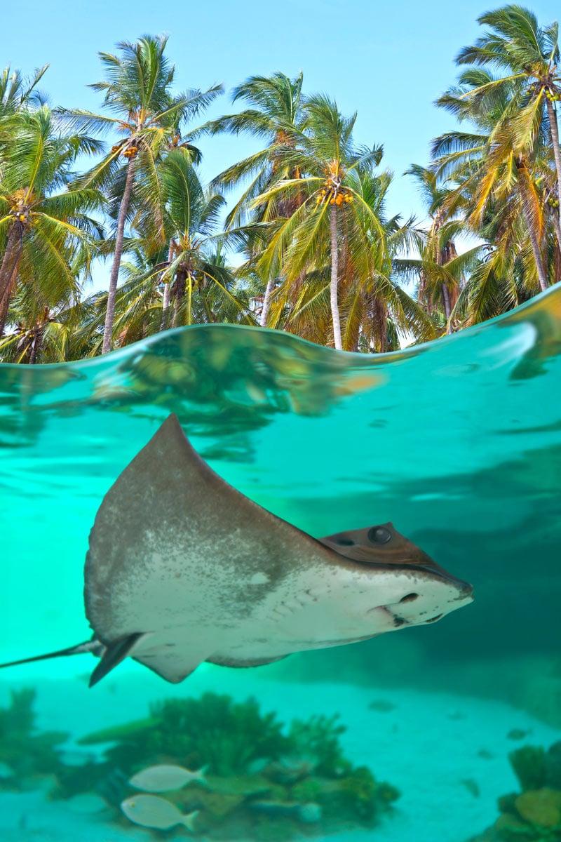 Stingray in Bora Bora
