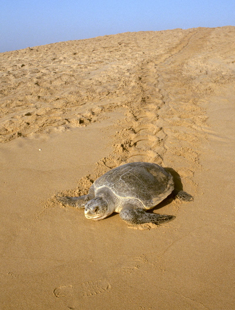 This Olive Ridley sea turtle returns to the sea after laying her eggs.