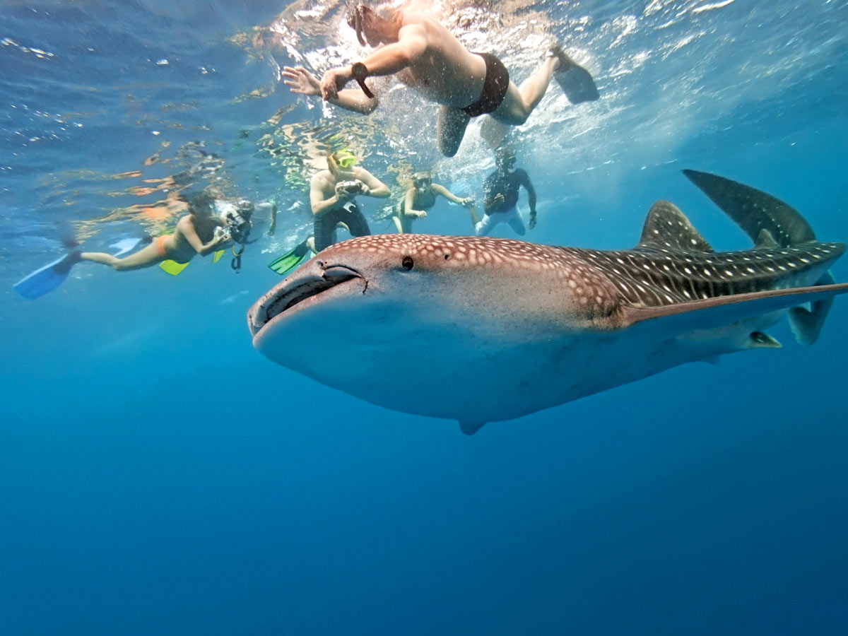Snorkeling With Whale Sharks in La Paz
