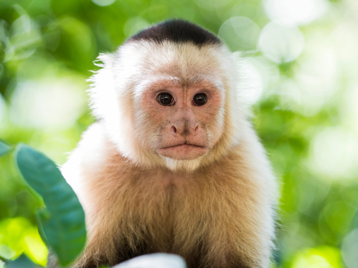 Monkey at Casa Cayuco, Bocas del Toro