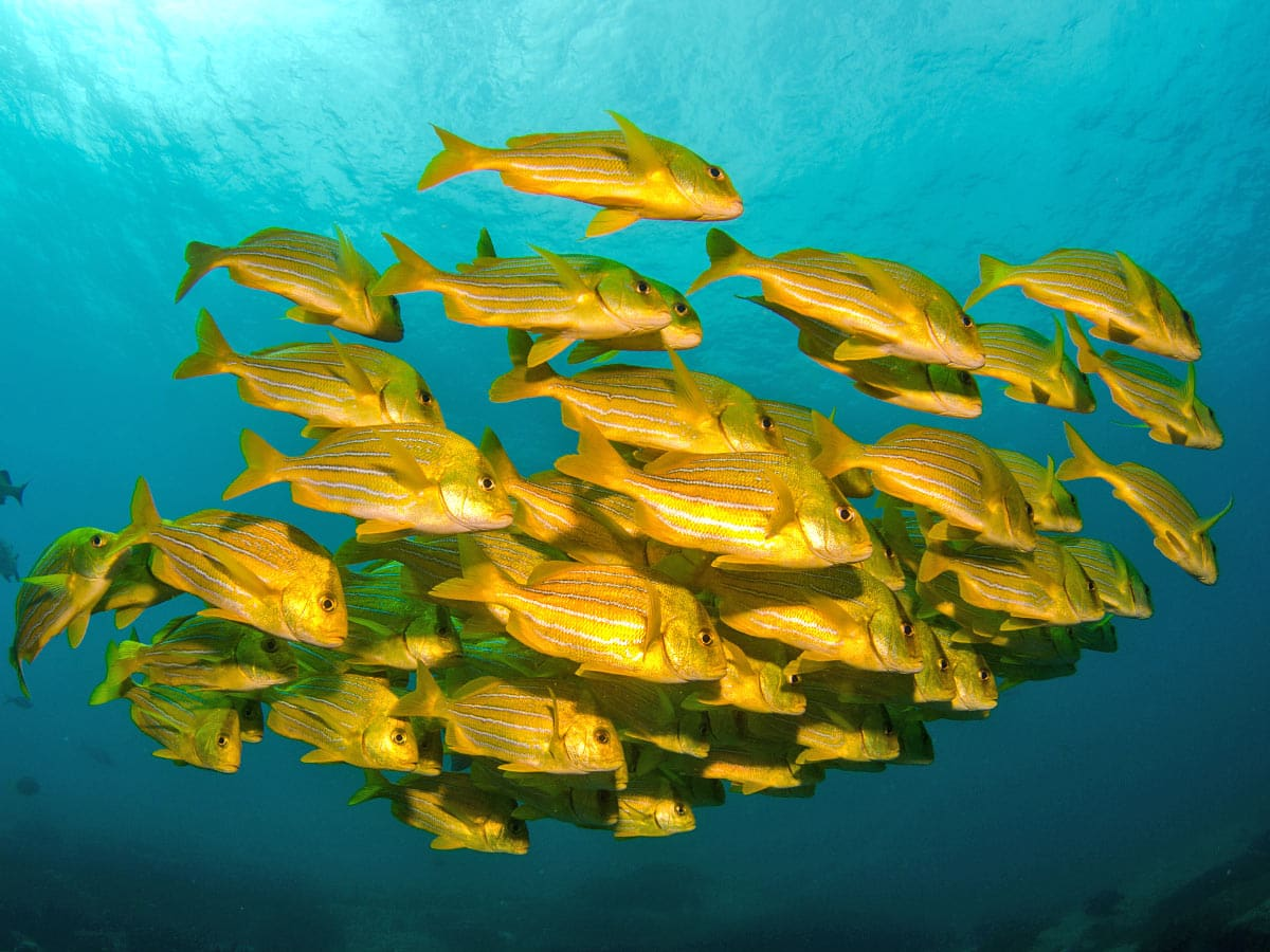 Clouds of yellow porkfish are seen when snorkeling at Santa Maria Beach, Cabo.
