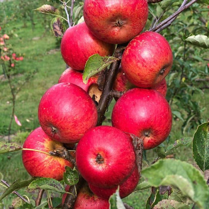 Salt Spring Wild makes cider from organic orchard apples on Salt Spring Island.