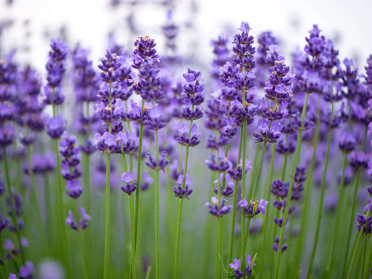 One of the fun things to do on Salt Spring Island is to smell the lavender at Sacred Mountain Lavender Farm.