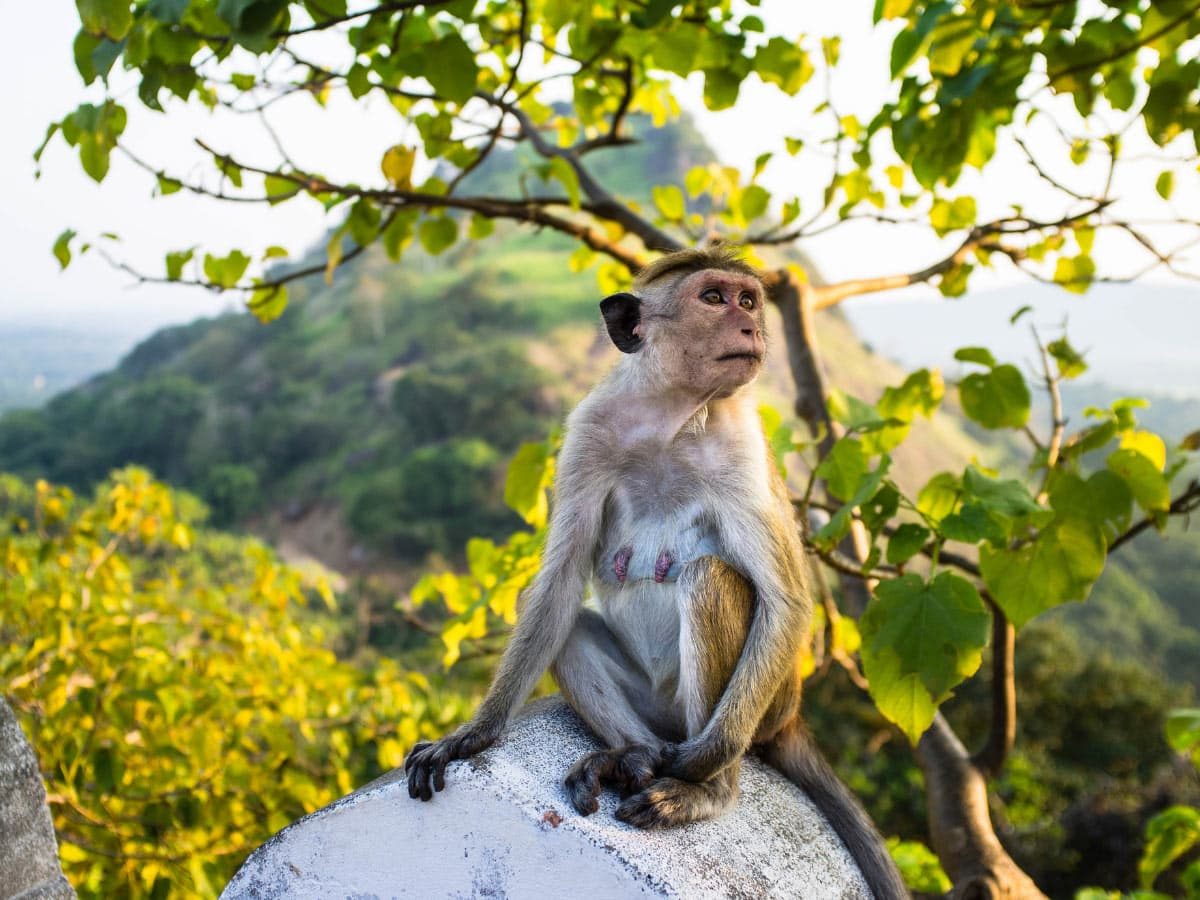 One of many monkeys you see at Dambulla, Sri Lanka