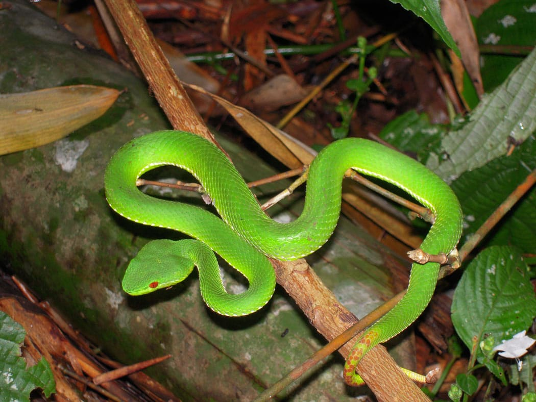 While hiking in Chiang Mai, we saw this lime green pit viper.