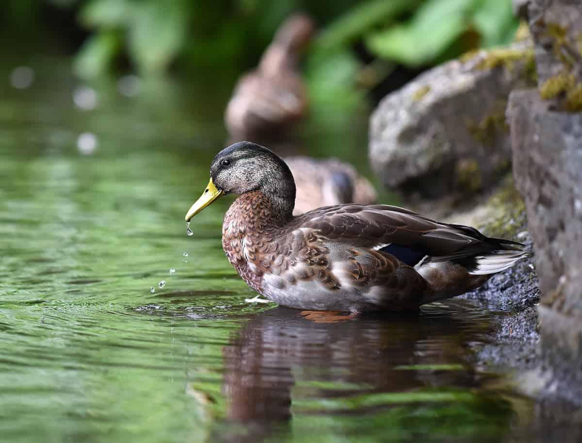 Ducks love Beacon Hill Park too...