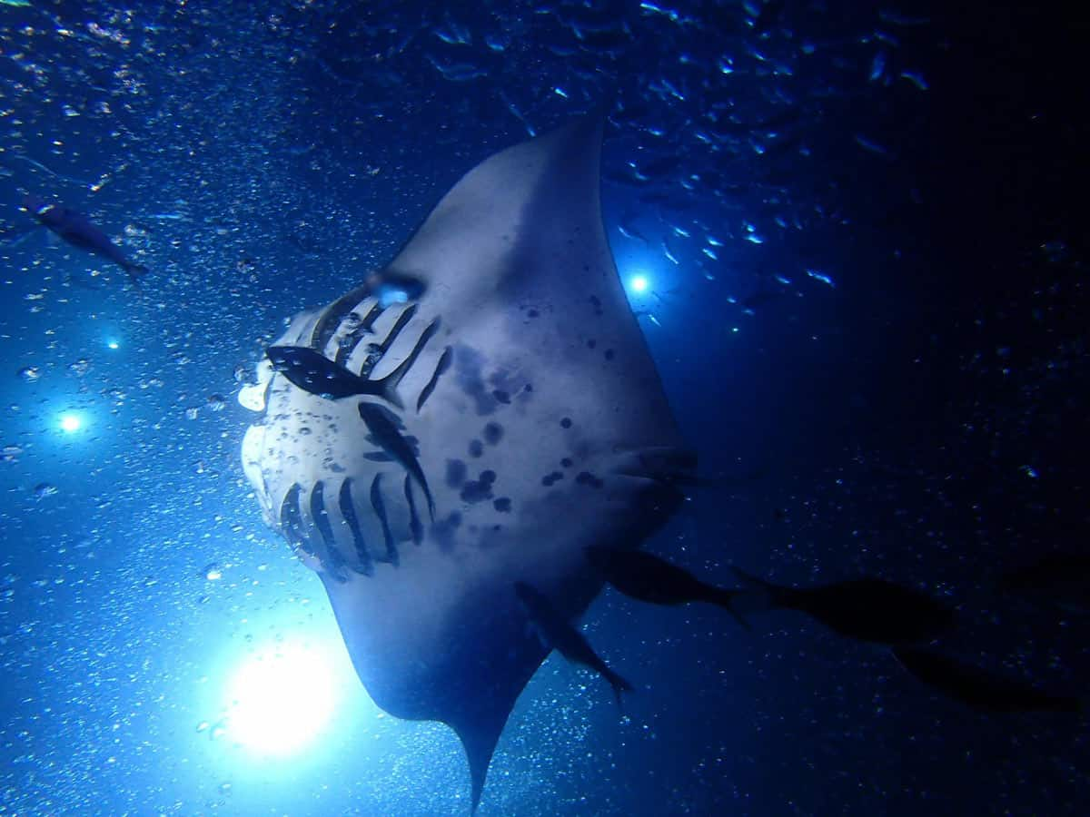 Snorkeling with manta rays in Hawaii is a once-in-a-lifetime experience!