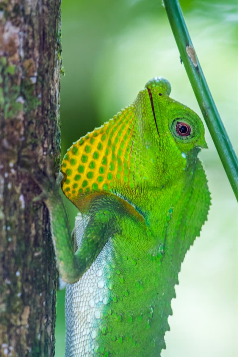 The hump-nosed lizard is endemic to Sri Lanka