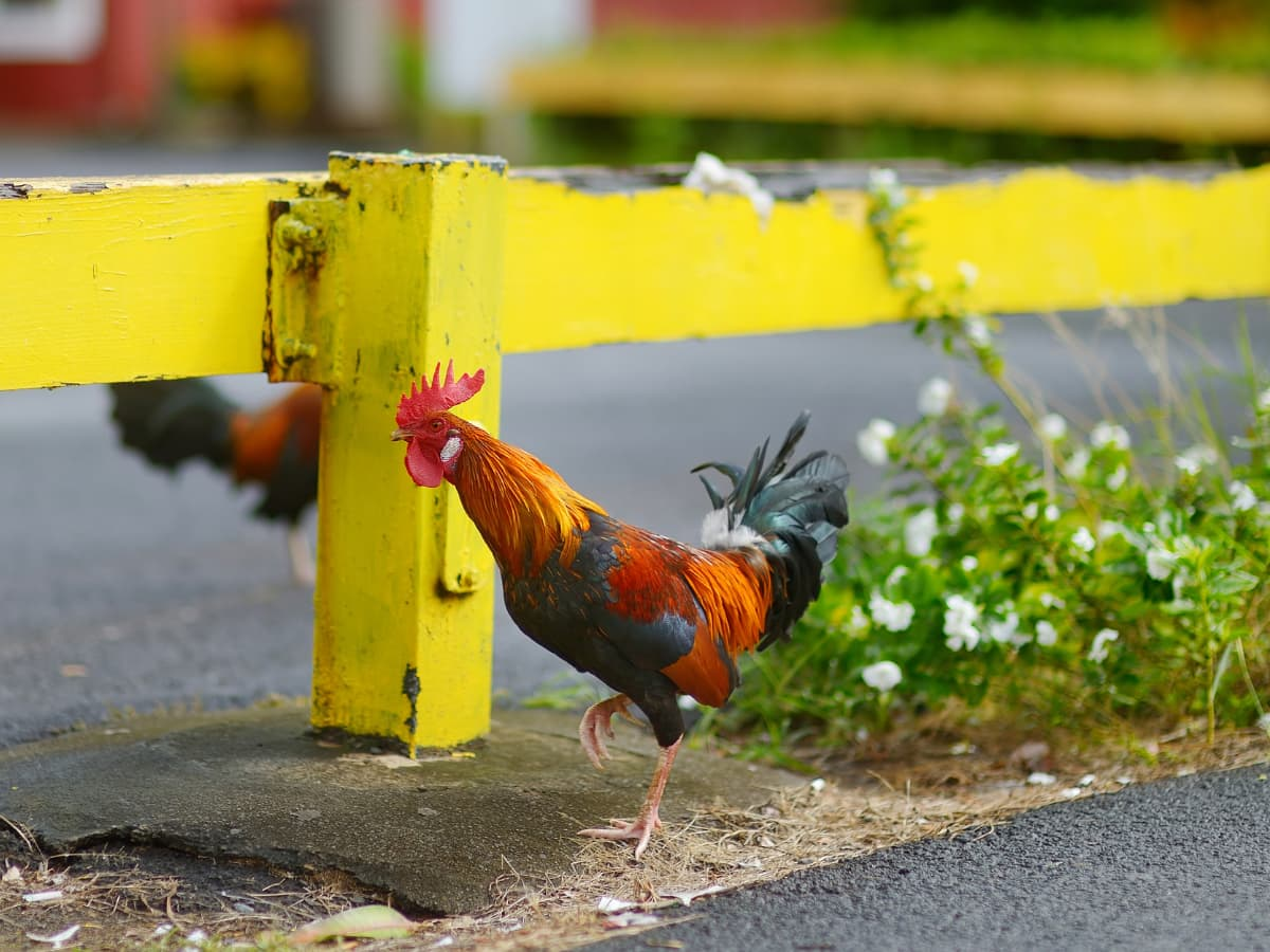 What's with all the wild chickens in Kauai?