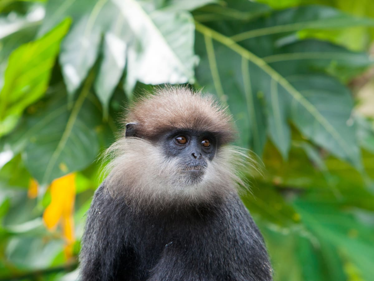 Purple-faced langurs are only found in Sri Lanka.