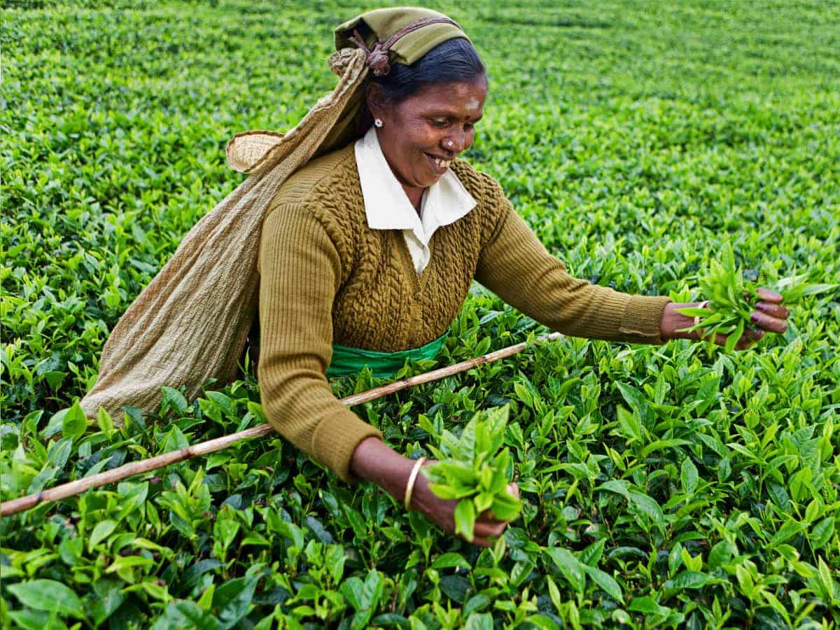 A woman picks tea in the Sri Lankan highlands.