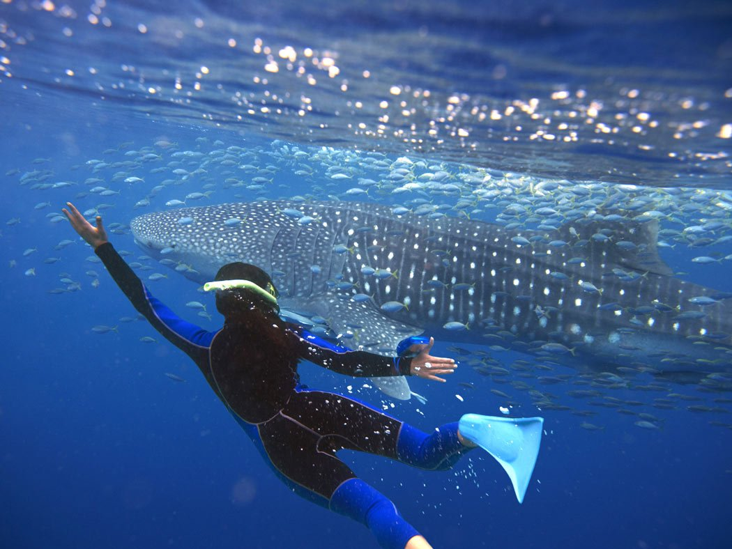 Whale shark in Los Cabos