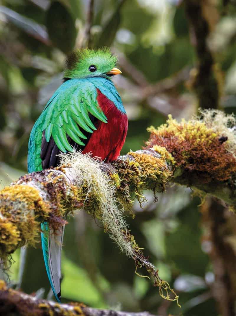 The quetzal is one of the most beautiful birds to see in Costa Rica