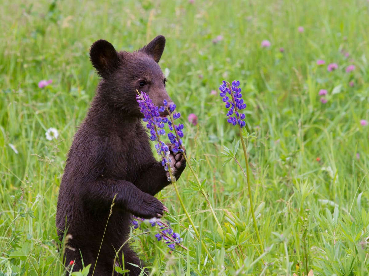 We can't tell you how many black bears in Whistler pose for tourists, like this one