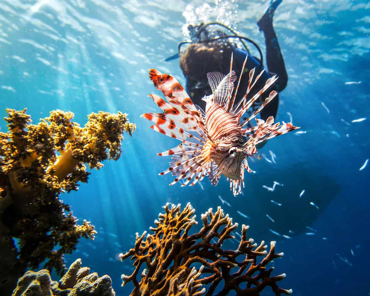 Hunting lionfish in the Caribbean is necessary to get rid of this invasive species. (And they taste good too!)