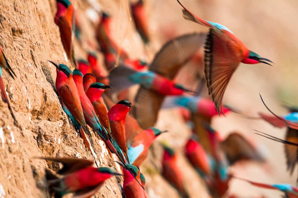 The Carmine bee-eaters are exquisitely colored birds.