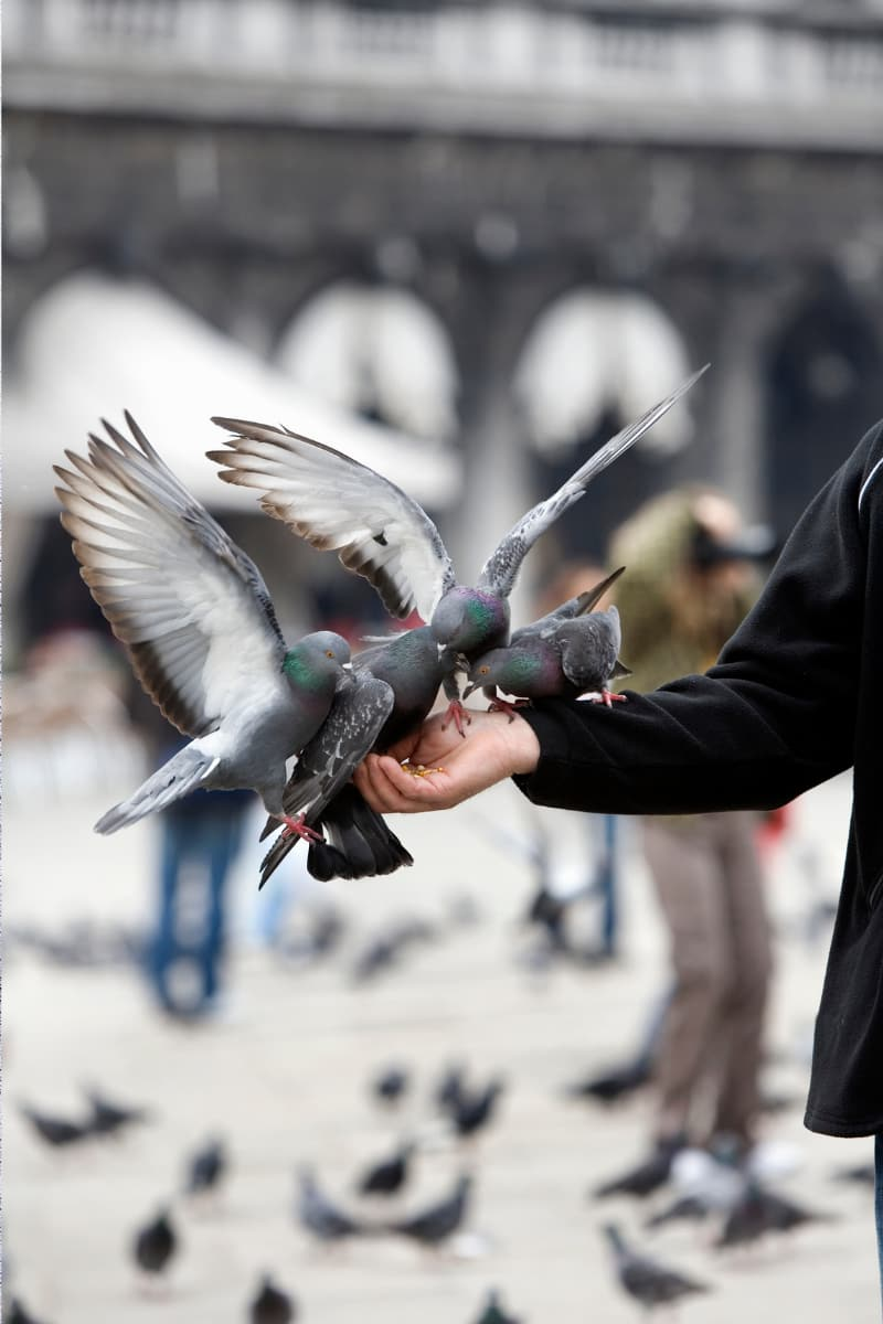Feeding fluttering pigeons as they land on your outstretched arms at St. Mark's Square, Venice