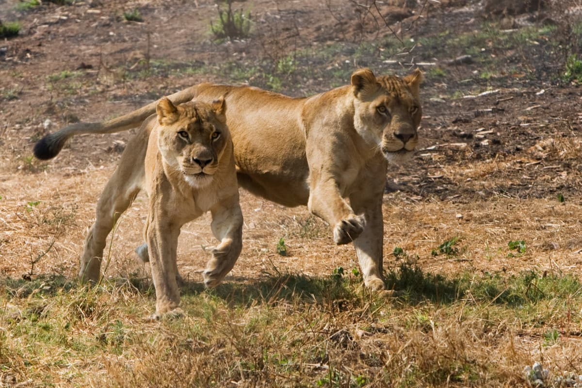 On a Big 5 safari in Sabi Sands, you're likely to see lions hunting!