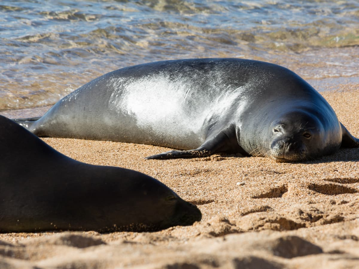 The Hawaiian monk seal is the official mammal of the state of Hawaii (and the unofficial mascot of Poipu Beach).