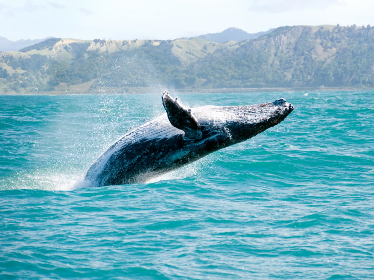 During the winter season, Maui is one of the best whale watching destinations in the world!