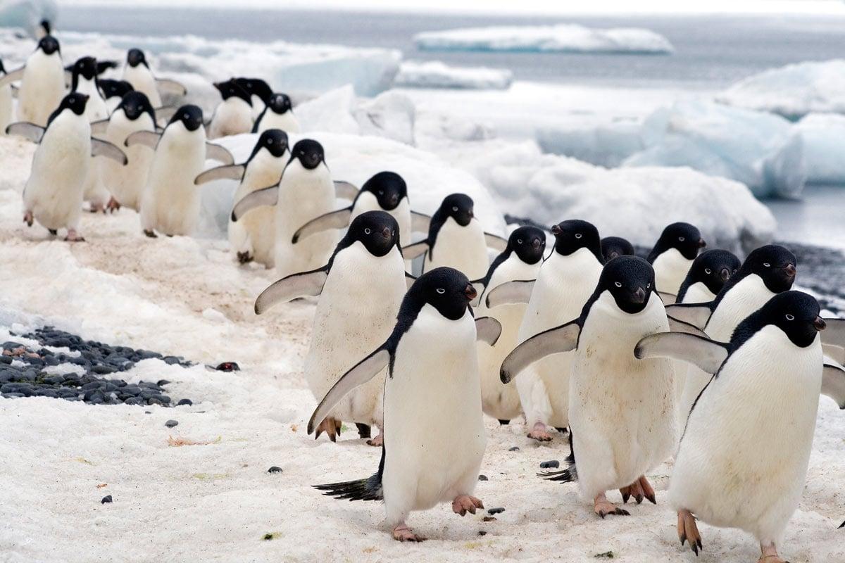 Adelie penguins at Brown Bluff, Antarctica
