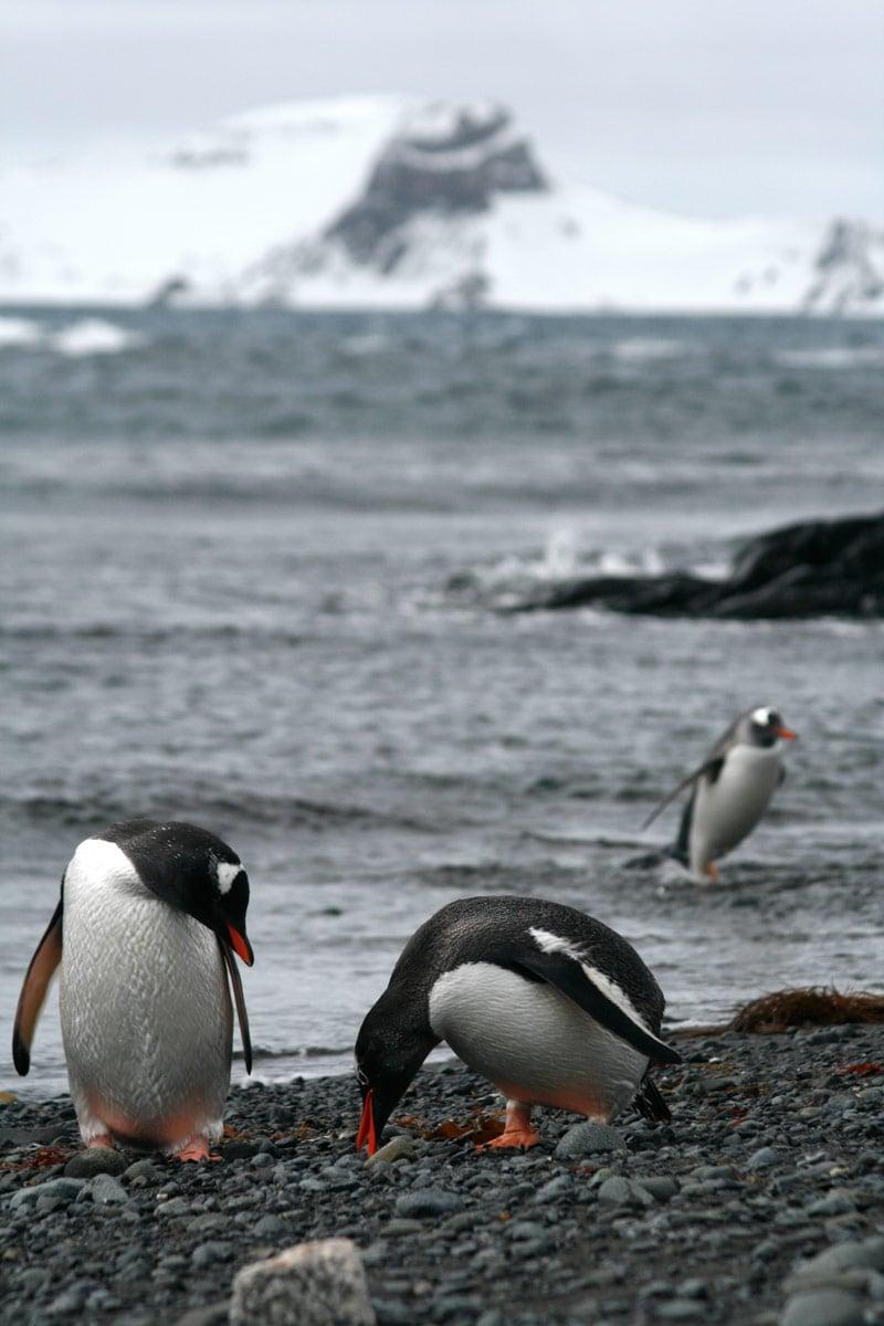 Gentoo penguins on Barrientos Island